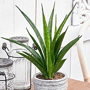 1 PIANTA DI SANSEVIERIA KIRKII FRIENDS IN VASO