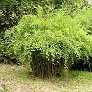 Pianta Sempreverde Da Giardino, confronta prezzi e offerte e ...
