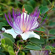 10 Semi Capparis spinosa cappero Bush ornamentale