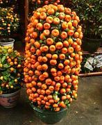 Pianta di arancio in vaso confronta prezzi e offerte e for Alberi da frutto prezzi