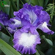 BANDIERA GIALLA Iris pianta 20 Semi