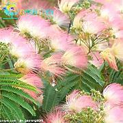 Pianta mimosa in vaso confronta prezzi e offerte lionshome for Mimosa in vaso