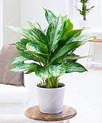 50 pc/sacchetto Aglaonema 'Pink Dud',
