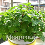 AGROBITS 100PCS Verde Verdura Bonsai balcone in