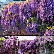 AGROBITS 10pcs Viola Wisteria Crescere Bonsai