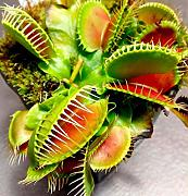 AGROBITS 300P Dionaea muscipula catture Flies