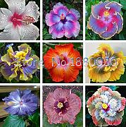 AGROBITS Hibiscus Seed Mix Colors giapponese