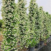 AGROBITS semi: 20PCS / Bag vento Jasmine semi in