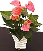 ANTHURIUM ROSA IN VASO CERAMICA, pianta vera