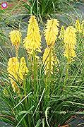 ASTONISH Sgomento SEEDS: 3: 50Pcs Poker (Kniphofia