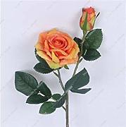 ASTONISH Sgomento SEMI: 11: Colorful Seed Rose