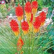 ASTONISH Sgomento SEMI: 9: 50Pcs Poker (Kniphofia