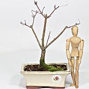 Bonsai Acero Rosso, confronta prezzi e offerte e risparmia fino al ...