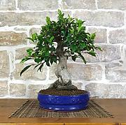 Bonsai Ficus, confronta prezzi e offerte | LIONSHOME