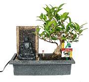 BONSAI cinese Feigenbaum-ficus retusa-circa 10 anni