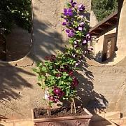Piante Rampicanti Da Balcone, confronta prezzi e offerte | LIONSHOME