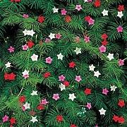 Cypress Vine Mix Seeds 10 Seeds giardino