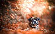 Dog On Autumn Red Leaves Puzzle 300 Pezzi