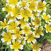 Fiore - Kings Seeds - Confezione Multicolore - Limnanthes Douglasii - Poached Egg Piante