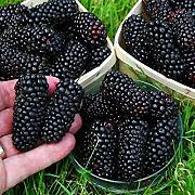 Generic Semi di frutta generici Blackberry Home