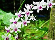 Go Garden 25 tipi Phalaenopsis Orchid Suite living