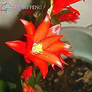 Green Seeds Co. 50PCS / PACK 2016 Holiday Cactus