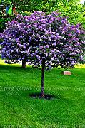 Green Seeds Co. Lilac Flower Tree bonsai 50