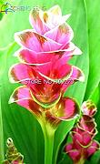 Homely 100 Pz Colorful Curcuma Semi Bonsai Semi