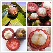 Homely 20Pce Organic Mangosteen Delicious Fruit