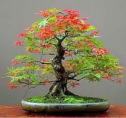 Homely Albero di Mpale 30 Semi/Pack Bonsai Blue
