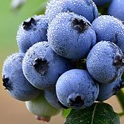 Ncient 10/20/30 Semi Sementi di Mirtillo Blueberry