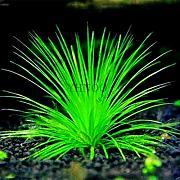 Nuovi 100pcs / bag bonsai acqua Erbe RandomGrass