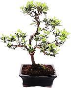 Azalea bonsai confronta prezzi e offerte lionshome for Glicine bonsai prezzo