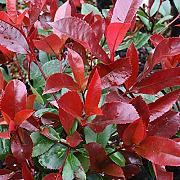 PERAGASHOP 1 PIANTA di PHOTINIA Red Robin da SIEPE