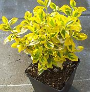 Pianta Euonymus Fortunei Emerald Gold in vaso ø11