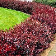 Pianta Piantina Photinia Fotinia Red Sempreverde