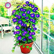 Pinkdose 20 pz Bonsai Morning Glory Fiore Nero