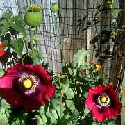 Poppy Pepperbox 200 semi da giardino