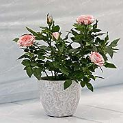 Potseed . 100 pc/Bag Mini Rose in Miniatura pianta
