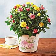 Potseed . 100 pc/Bag Mini Rose in Miniatura Rose