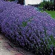 Potseed Germinazione I Semi: Lavanda Munstead Semi