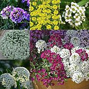Potseed Perenne Giardino DecorationFlower Colore