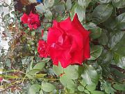 Rare Hot Red Rose, Fiore, Semi, Giardino X20