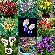 ScoutSeed 01: 100Pcs Rare Bonsai Colorful Calla