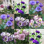 ScoutSeed 50: 50Pc Eustoma Grandiflorum Seeds Bulk