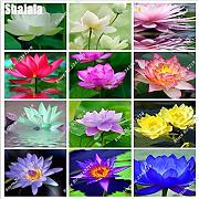 Shoopy Star 16: 5 pz/borsa Lotus Flower Seeds