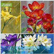 Shoopy Star 2: 2pcs Freesia Bulb Bonsai Casa
