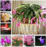 Shoopy Star 6: 10 semi di schlumbergera in colori