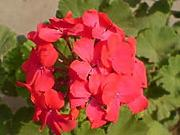 Shoopy Star Geranium Maverick Red 10 Coated Seeds