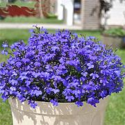 Shoopy Star Hanging Flower Seeds Blue Lobelia